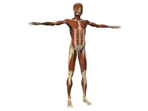 full_body_muscle